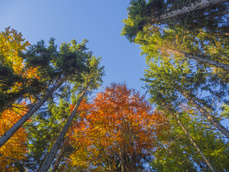 look up at colorful autumn color tall trees crowns and blue sky orange beech tree and green spruce tree