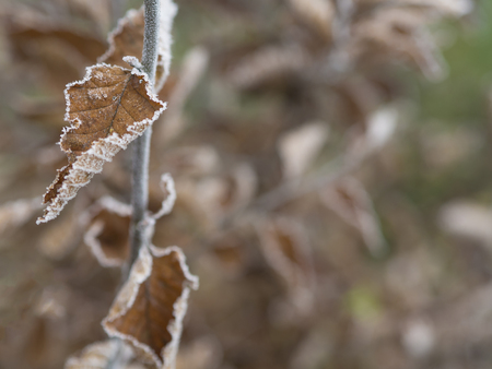 first frost - close up rime frozen autumn color leaves branch snow covered christmas winter bokeh background
