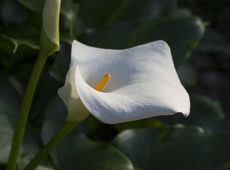 close up macro blooming white flower head of calla lily or arum lily - Zantedeschia aethiopicaleaves selective focus green background Stock Photo