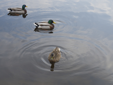 close up swiming widgeon chasing by two duck on water suface