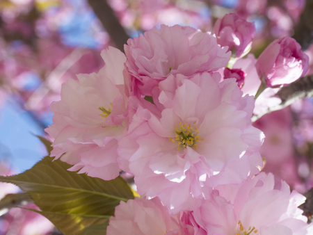 close up blooming pink sakura cherry blossom or Japanese cherry bud (Prunus serrulata)  soft focus, natural floral background