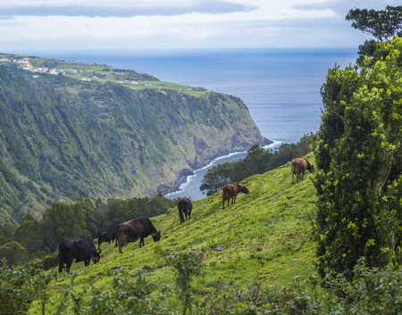 Cow herd grazing on grassy slope on viewpoint Miradouro da Ponta do Sossego with steep cliffs, sea, and flower garden, Nordeste on Sao Miguel island, Azores, Portugal