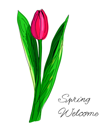 Hand drawn red tulip with green laeves and hand written text spring welcome isolated on white. Vector illustration in doodle vintage watercolor style. Sketch. Flower blossom design for greeting cards