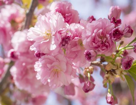 Cerrar hermosa flor de cerezo de sakura rosa en flor perfecta o rama de árbol de flor de cerezo japonés Prunus serrulata, enfoque selectivo, luz del sol, fondo de primavera floral natural