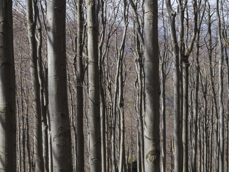 close up grey trunks of young beech trees structure with lights and shadows, natural pattern background