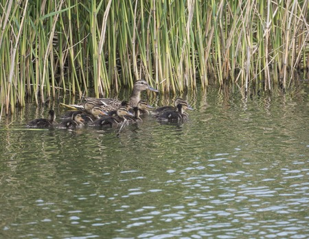 Wild Female Mallard duck with youngs ducklings. Anas platyrhynchos in the water. Beauty in nature. Spring time. Birds swimming on lake with reeds. Young ones.