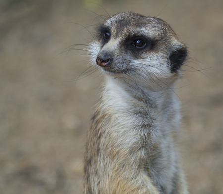 Close up portrait of meerkat or suricate, Suricata suricatta looking to the camera, selective focus, copy space for text Imagens