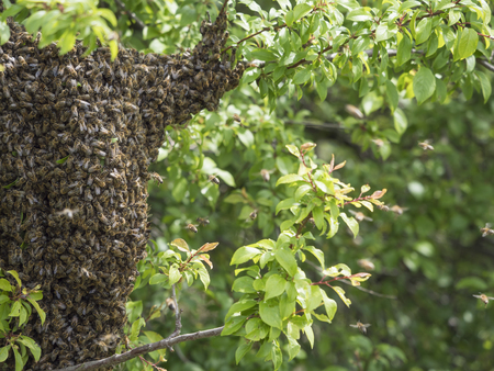 close up wild hive with cluster or swarm of bees on tree branch