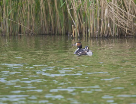 The adult great crested grebe, Podiceps cristatus on green clear lake with reeds. Stock Photo