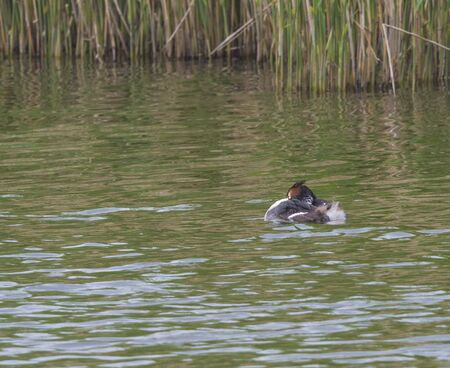 The adult great crested grebe, Podiceps cristatus with young duckling on her back on green clear lake with reeds.