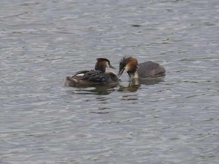 close up couple of great crested grebe feeding their young with fish Podiceps cristatus family on clear blue lake Stock Photo