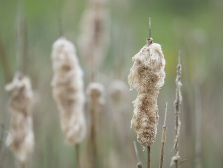 Beautiful close up soft fluffy Beige Grasses or reed on green bokeh background Stock Photo