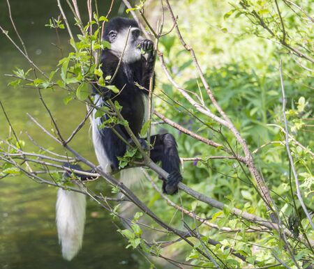young baby Mantled guereza monkey also named Colobus guereza eating tree leaves, climbing tree branch over the water, natural sunlight, copy space
