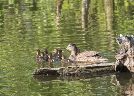 Wild Female Mallard duck with youngs ducklings. Anas platyrhynchos. Beauty in nature. Spring time golden hour. Birds swimming on lake. Young ones. Stok Fotoğraf