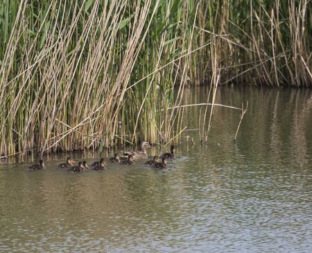 Wild Female Mallard duck with youngs ducklings. Anas platyrhynchos leaving the water hiding in reeds. Beauty in nature. Spring time. Birds swimming on lake. Young ones.