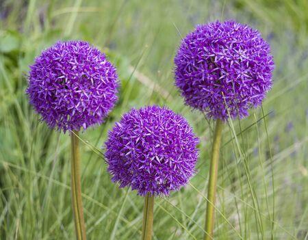 Blooming purple ornamental onion Allium hollandicum, Purple Sensation against the green grass background 版權商用圖片