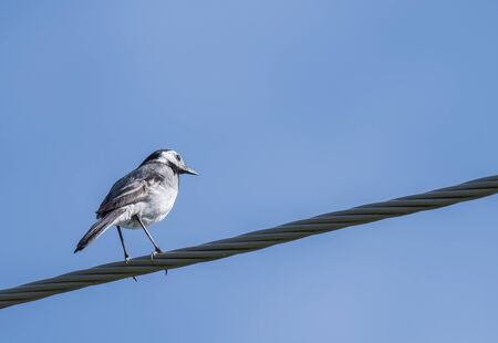 Female White Wagtail Motacilla alba sitting on eletric wire against a blue sky background. Copy space