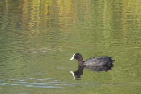 Portrait of Eurasian coot Fulica atra, also known as the common coot with swimming in the water water of clear lake. Golden hour light, Copy space