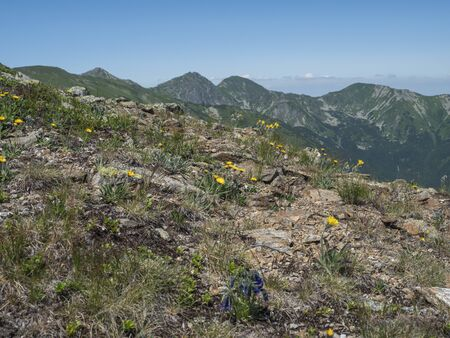 Mountain meadow of Western Tatras mountains Rohace with dandelion and Gentiana alpine flower and view on ostry rohac two peaks from hiking trail on Baranec. Sharp green grassy rocky mountain. Summer blue sky