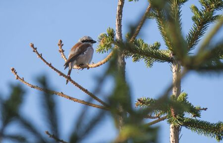 Red-backed shrike Lanius collurio sitting on a spruce tree branch against blue sky background. Red-backed shrike is a carnivorous passerine bird and member of the shrike family Laniidae
