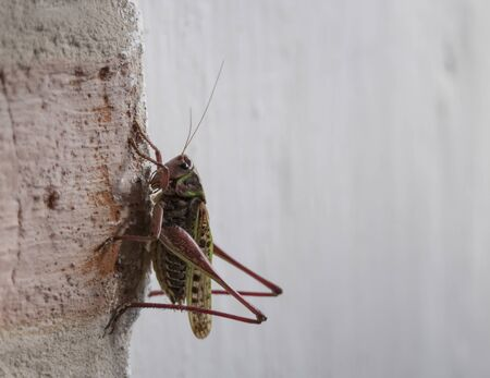 Closeup of a Meadow Grasshopper - Chorthippus parallelus sitting on the white grunge wall, focus on eye.