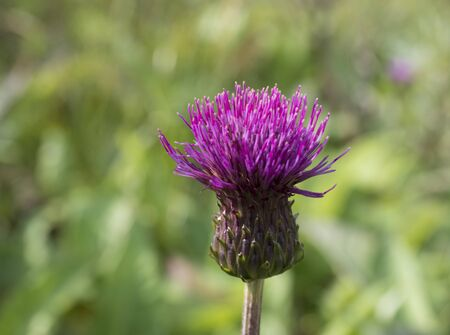 One close up purple field thistle closeup on green bokeh background Floral green-violet background. Pink thorny thistle flower. Selective focus, vivid colors.