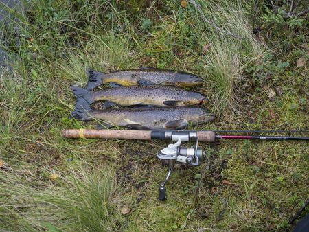 three big rainbow trout, fish displayed on grass with fly fishing rod. Fresh catch freshwater trout
