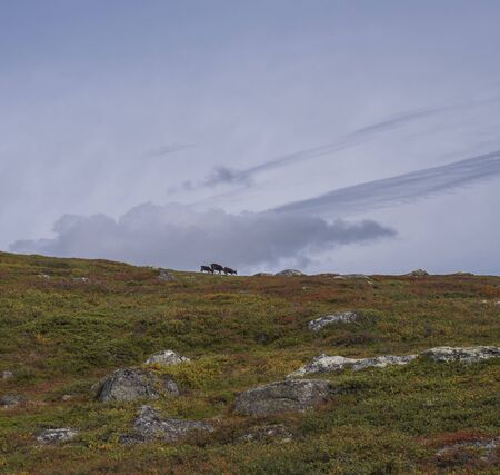 Three reindeer walking on hill in wild nature of Sarek national park in Sweden Lapland. Early autumn colors of bush and grass