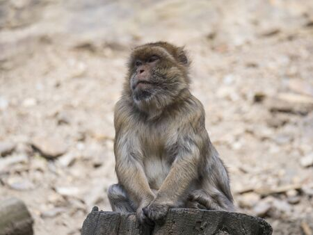 Close up portrait of Barbary macaque, Macaca sitting on the tree trunk stump, selective focus, copy space for text. Banco de Imagens