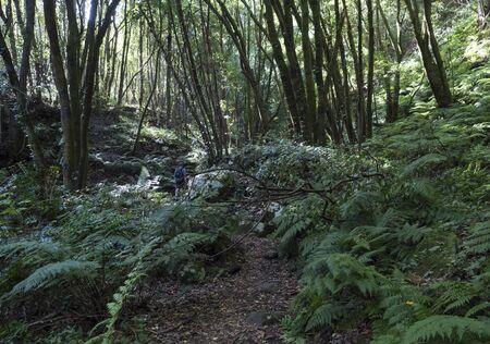 Man hiker at path Cubo de la galga nature park hiking trail in beautiful mysterious Laurel forest, laurisilva lush subtropical jungle at La Palma, Canary Islands, Spain
