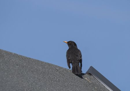 Close up common blackbird, Turdus merula also called Eurasian blackbird sitting on the roof top.