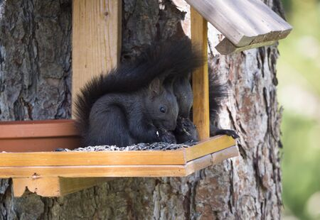 Three close up cute black squirrel, Sciurus vulgaris sitting in the bird feeder table, tail up with sunflower seed in paws. Selective focus, copy space