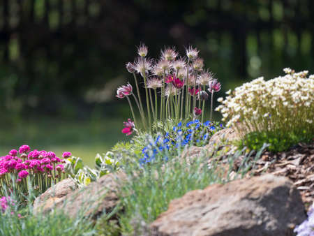 spring rock garden in full bloom with Pulsatilla pratensis purple violet flowers, pink Phlox, Armeria maritima, sea thrift, Bergenia or elephants ears, carnation and other colorful blooming flowers.