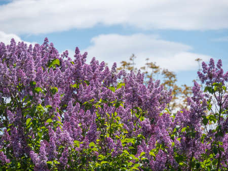 Springtime flowering bush tree top with violet flowers. Blooming Syringa vulgaris, common lilac plant against blue sky with white clouds, sunny day background. Copy space.