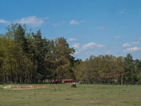 grazing horses at spring meadow with lush green grass, fresh deciduous, spruce and pine tree forest with small wooden cabins, blue sky white clouds background, horozontal, copy space
