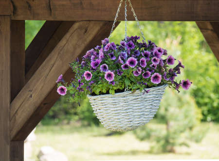 white wicker basket, flower pot with violet geranium flowers hanging from wooden pergola Zdjęcie Seryjne