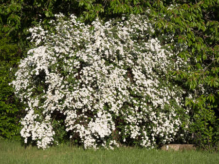 Spring blooming shrub with many white flowers - Spiraea vanhouttei in the garden. Also known as Reeves spiraea, Bridalwreath spirea, Meadowsweet, Double White May or May Bush