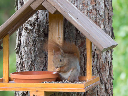 Close up cute Red squirrel, Sciurus vulgaris sitting in the bird feeder table, tail up with sunflower seed in paws. Selective focus, copy space