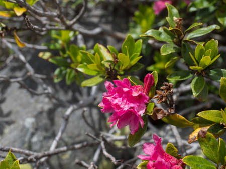 Close up of pink blooming alpenrose, Rhododendron ferrugineum, snow-rose or rusty-leaved alpenrose bush with flowers, Tyrol, Austrian Alps.