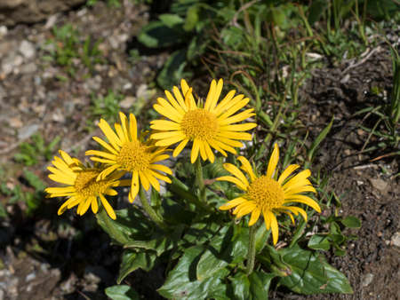 close up yellow blooming Chamois ragwort, Senecio doronicum, alpine flower with green leaves on rocky background, selective focus