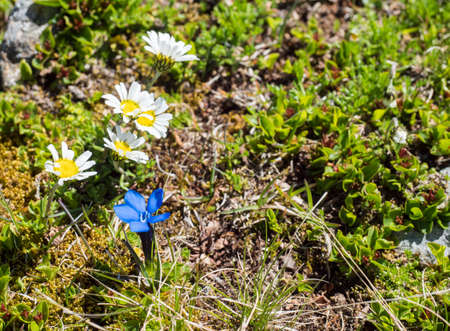 Closeup of Leucanthemopsis alpina, Alpine daisy and Gentiana nivalis, the snow gentian with green leaves on alpine meadow and rocks, selective focus Archivio Fotografico