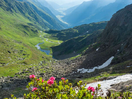Beutiful pink blooming alpenrose, Rhododendron on background of green summer alpine mountain valley with winding river spring stream. Stubai hiking trail, Stubai Hohenweg at Tyrol, Austrian Alps Archivio Fotografico