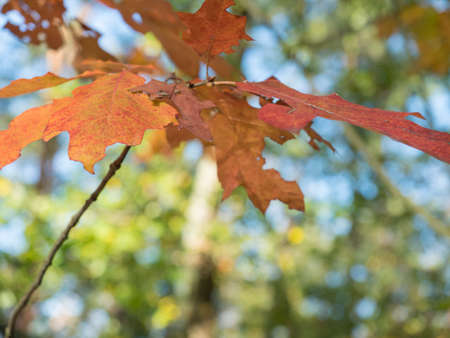 Colorful autumnal maple leaves in blurred autumn forest background in sunlight