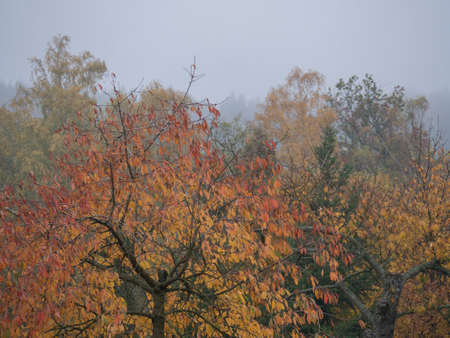 Vibrant Autumn Colours of the Leaves on Cherry Tree, deciduous trees and bush in moody foggy autumn day with mist background in a countryside Archivio Fotografico