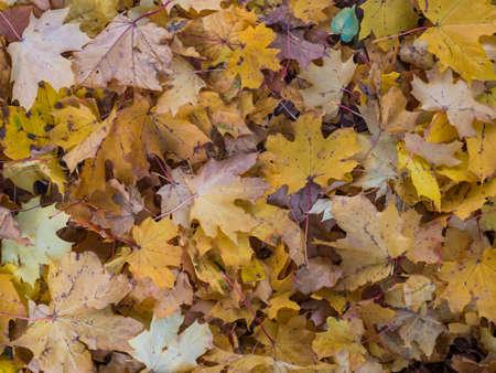 close up yellow and brown fallen wet maple and beeech tree leaves, Autumn natural background