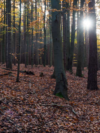 dark mysterious autumn deciduous beech tree forest with colorful leaves, sun rays and ground covered with fallen leaves. Seasonal nature background
