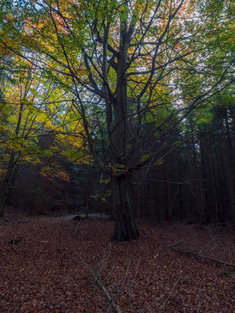 dark mysterious autumn deciduous forest with old big beech tree with colorful leaves and ground covered with fallen leaves. Seasonal nature background