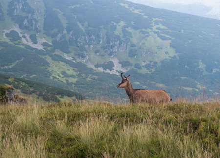 Tatra chamois, rupicapra rupicapra tatrica standing on a summer mountain meadow in Low Tatras National park in Slovakia. Wild mamal in natural habitat, nature photography,