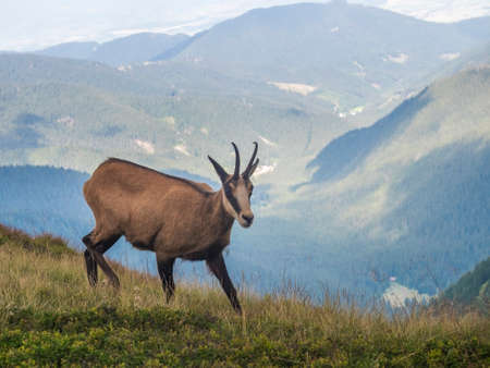 Close up Tatra chamois, rupicapra rupicapra tatrica standing on a summer mountain meadow in Low Tatras National park in Slovakia. Wild mamal in natural habitat, nature photography. 免版税图像