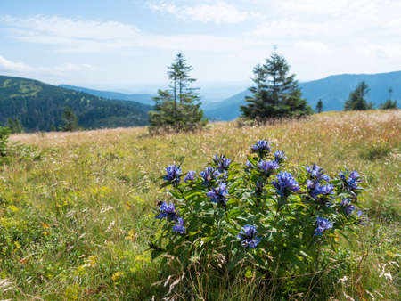 blue blooming gentian flower bush at mountain meadow, grassy green hill slope with spruce tree and pine scrub at ridge of Low Tatras mountains, Slovakia, summer sunny day